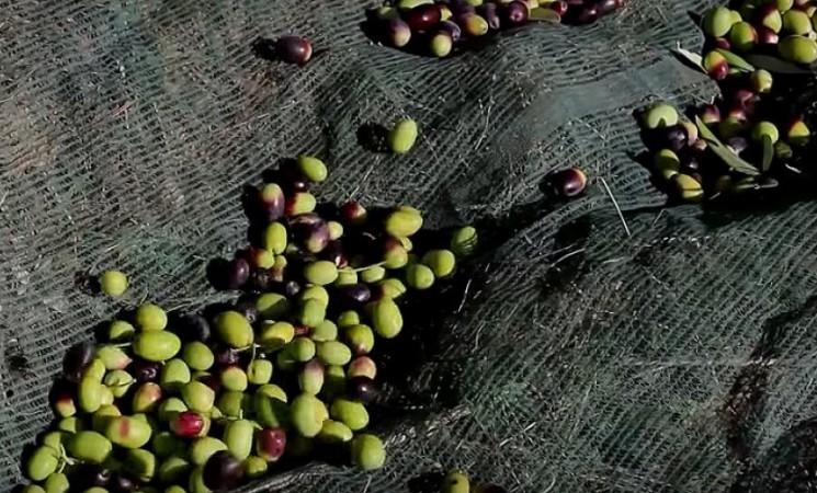 Troina, si attende lo 'stato di calamità naturale' dopo i danni causati dal maltempo al settore olivicolo