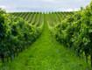 """Viticoltura, vendemmia """"verde"""" anche in Sicilia, ma servirebbe """"selettiva"""""""