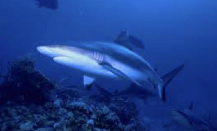 Quello squalo innocuo che nuota nel mare di Sicilia è in pericolo