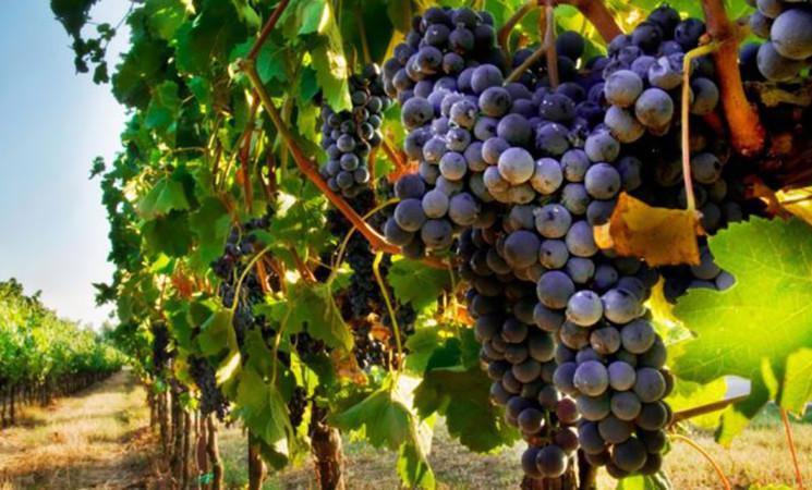 Dalla Regione finanziamenti per la viticoltura della Sicilia