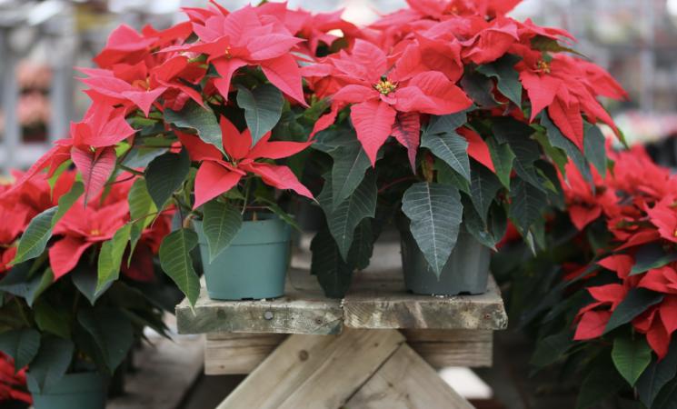 Covid, le chiusure mettono a rischio 13,5 milioni di alberi e stelle di Natale