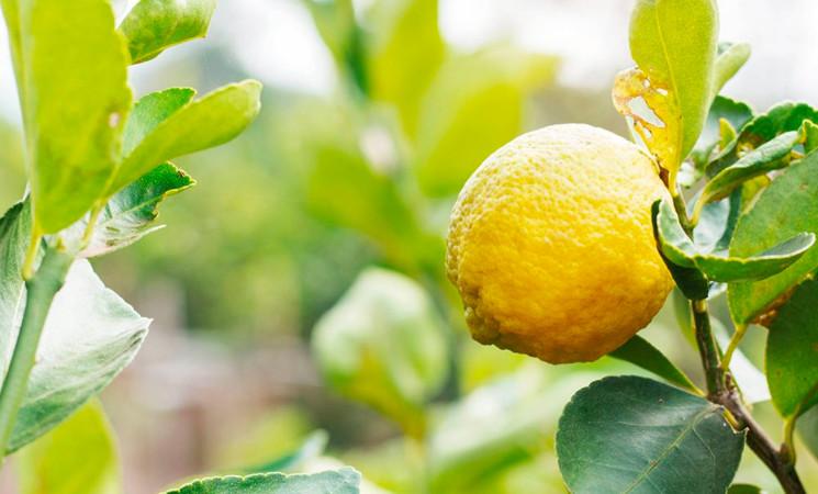 Salute: dagli scarti del limone integratori contro il rischio cardio-vascolare