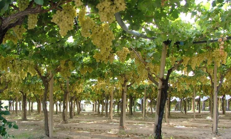 """L'uva da tavola di Mazzarrone """"minacciata"""" da varietà senza semi"""