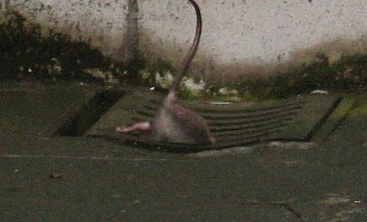 """Catania invasa dai ratti. """"Segnalazioni in aumento"""""""