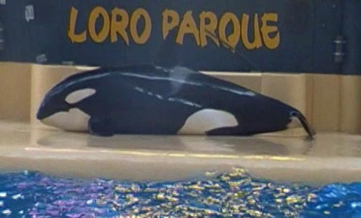 Orca di un parco acquatico delle Canarie tenta il suicidio